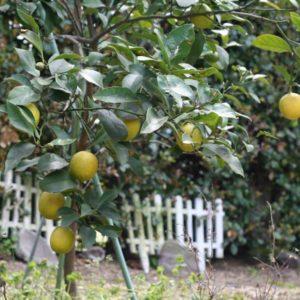 庭のレモン。そろそろ5年ぐらい。