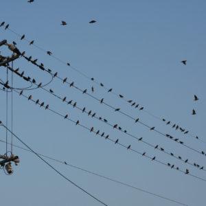 スズメの集会。