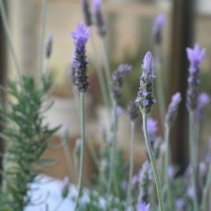我が家の3種類のラベンダーのひとつ、一番たくさん咲くラベンダー・デンタータ。