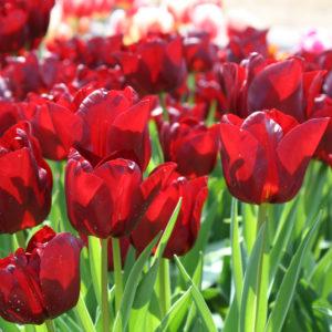 2015・3・21ハウステンボスにて・・・光に透ける花弁が綺麗!
