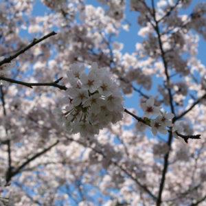 2015・4.2 お花見日和。