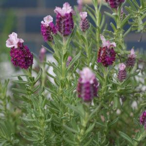 ラベンダーの中でも一番好きな、フレンチラベンダー・キューレッド。小さな鉢植えを地植えにして、大きな株に育っています。