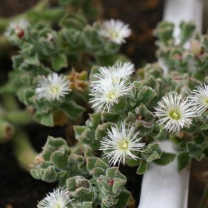 アイスプラント。初めて花が咲きました。('15・5・29)