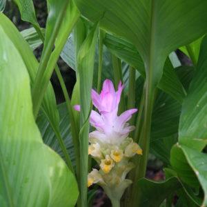 クルクマ、咲きました。内側から輝いているようなピンク色。('15・8・17)