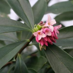 春を告げる沈丁花。