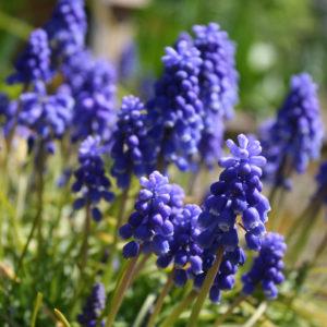 3月、正確に季節の切り替わりを感じさせてくれるムスカリ。