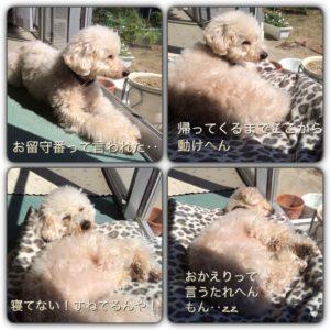 寝ながらすねている愛犬。('15・3・28)