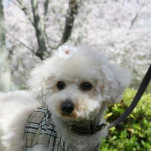 おでこに桜の花♡('15・4・2)