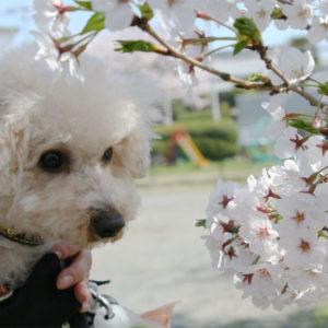 桜さんに、今年もありがとう!のご挨拶♡('15・4・2)