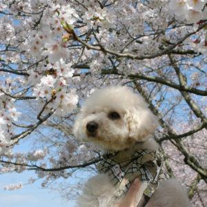 桜さんに、今年も来たよ!のご挨拶♡('15・4・2)