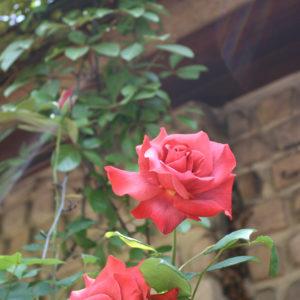 赤い薔薇と 降り注ぐ光。