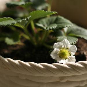 母が植えた苺・とちおとめ。('16・1・7)