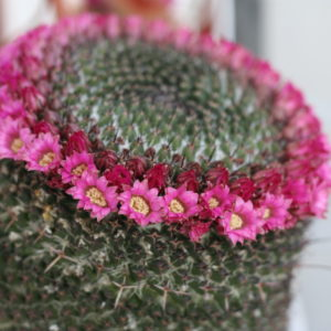 サボテンの花。('16・4・29)