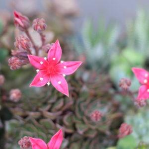 エケベリアの花。('16・6・9)