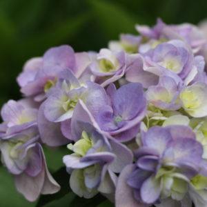 遅めに咲く我が家の紫陽花。('16・6・9)
