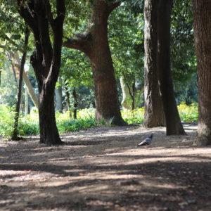 2016・11・18 都会の公園にて 鳩さん。