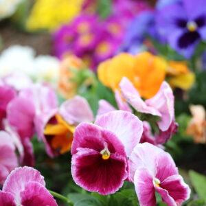 花壇の花たち。ビオラ。